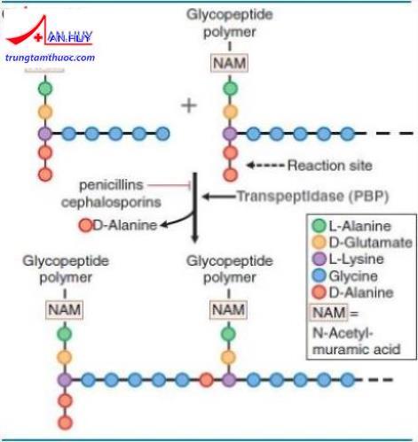 cơ chế hoạt động nhóm cephalosporin